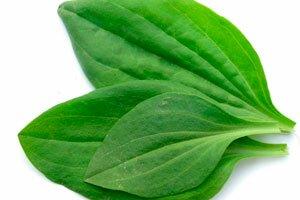 фото листьев подоржника